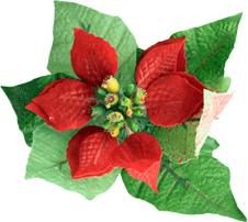 weihnachten weihnachtsstern blume