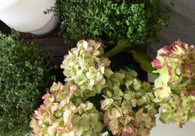 Hortensien Trocknen blumen hortensien mit glycerin konservieren mokowo wohnblog