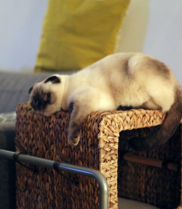 Katze auf Katzenmöbel - DIY Kratzbaum